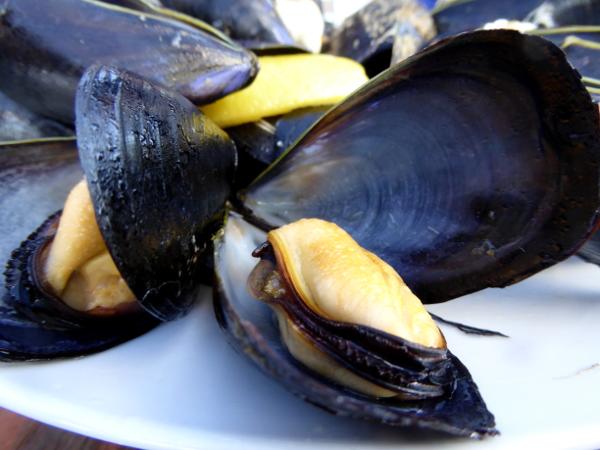 Musclarium Muscheln Ebrodelta Freibeuter reisen zwei jahre alte miesmuscheln