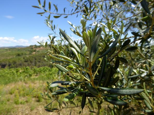 Olivenbaum La Placeta Montsant Weine Freibeuter Reisen