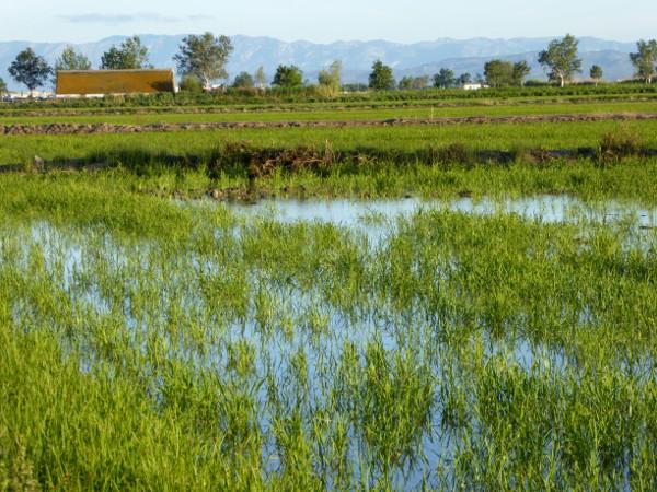 Reis im Ebrodelta freibeuter reisen bei Amposta Eucaliptus