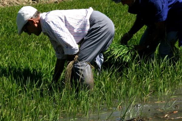 Reis im Ebrodelta freibeuter reisen die Reispflanzer