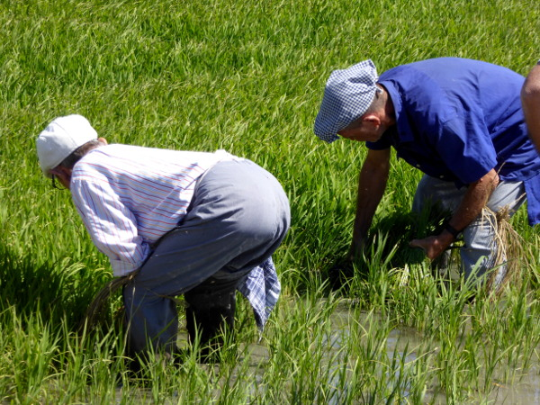 Reispflanzer Reis im Ebrodelta freibeuter reisen