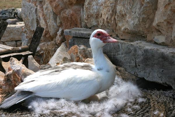 Temps de Terra Masia Ebrodelta Freibeuter Reisen Ente mit Eiern