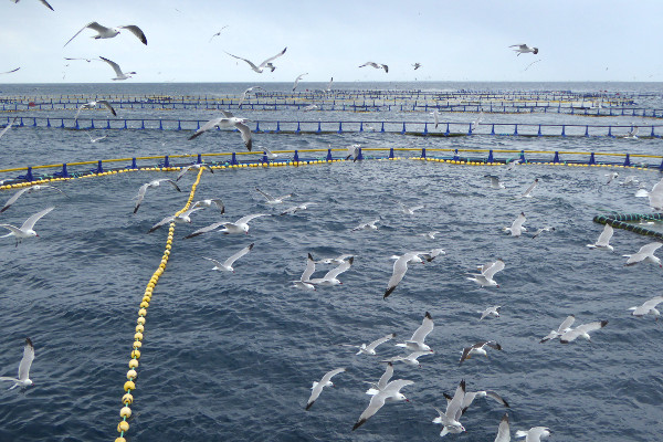 Thunfisch schorcheln Freibeuter reisen hungrige moewen