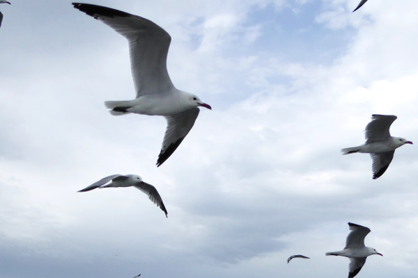 Thunfisch schorcheln Freibeuter reisen kreisende moewen