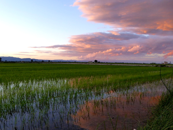 abends reisfelder lila wolken Reis im Ebrodelta freibeuter reisen