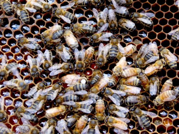 bienen honig Freibeuter reisen bienenkönigin