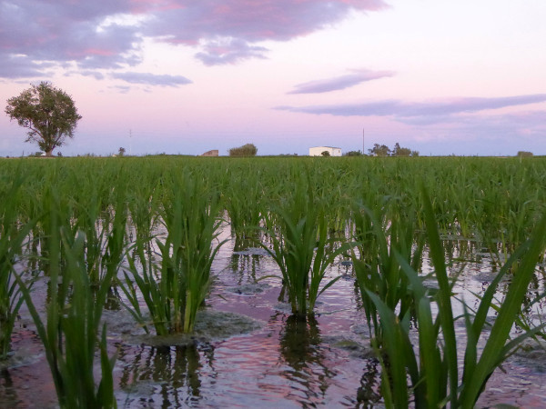 sonne geht unter reisfeld Reis im Ebrodelta freibeuter reisen