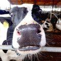 Auf die Kuh gekommen - Granja Mas Bes 6