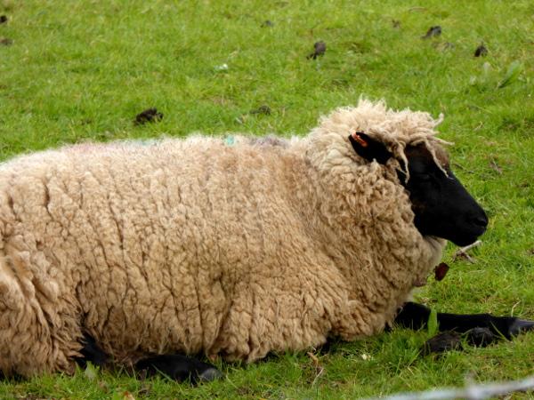 schaf Wolle Wales Land und Leute Freibeuter reisen