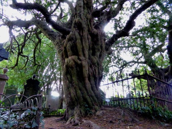 wales land und leute Yew tree heulender Freibeuter reisen