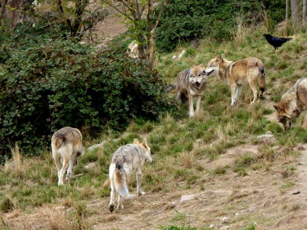 rudel-wolfe-lozere-freibeuter-reisen