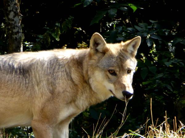 wolf-augen-lozere-freibeuter-reisen