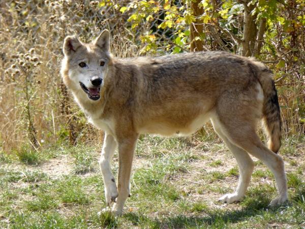 wolf-lozere-freibeuter-reisen
