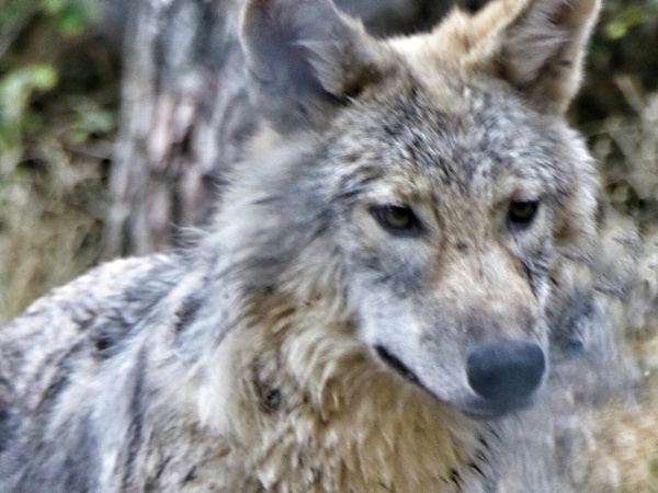wolf-parc-a-loups-lozere-freibeuter-reisen