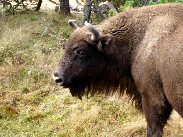 bison-blick-freibeuter-reisen