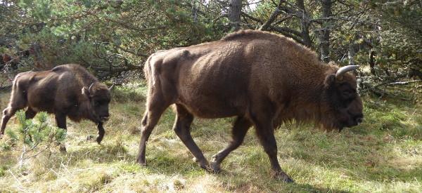 bison-kuh-freibeuter-reisen