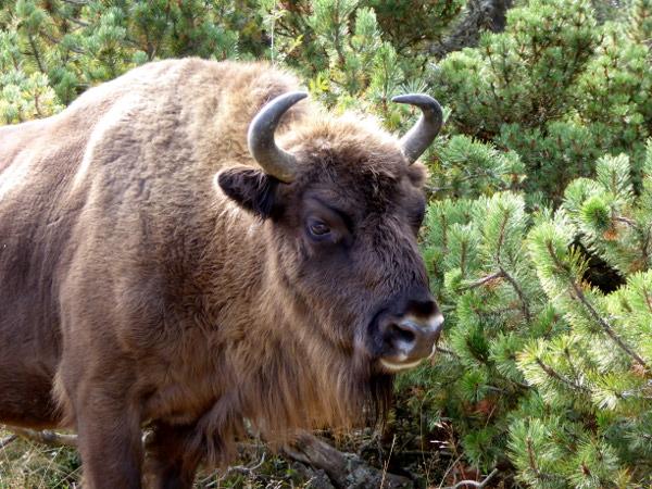 bison-kuh-lozere-freibeuter-reisen