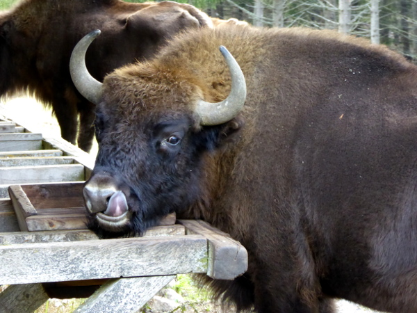 bison-salz-leckend-freibeuter-reisen