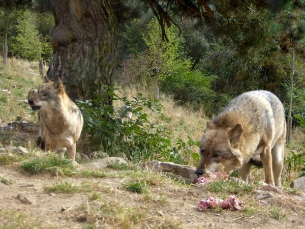 fressender-wolf-lozere-freibeuter-reisen