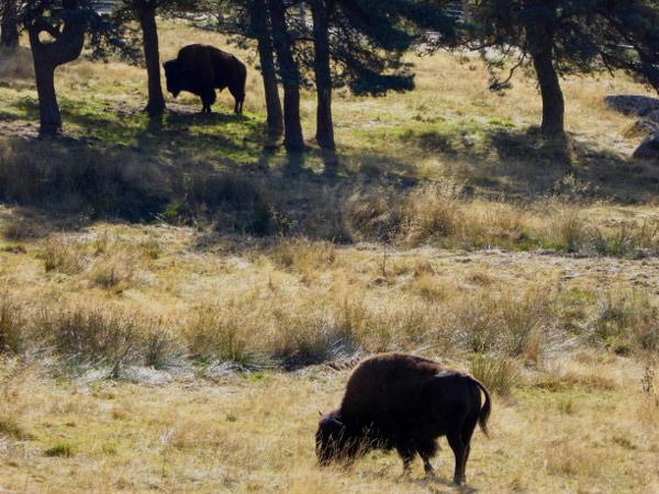grasendes-amerikanisches-bison-freibeuter-reisen