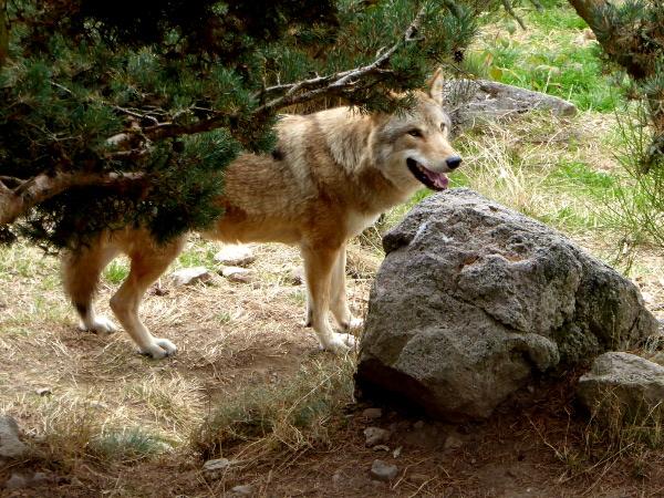wolf-hinter-baum-freibeuter-reisen