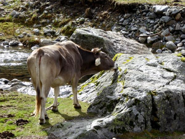 kuh-moos-nationalpark-aigueestortes-freibeuter-reisen
