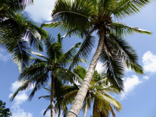 palmen-strand-martinique-freibeuter-reisen-presqu-ile