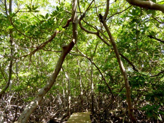 Wandern im Mangrovenwald 17