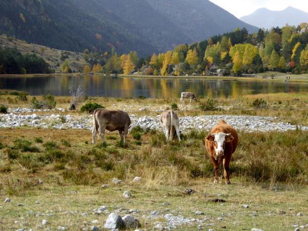 kuehe-am-see-nationalpark-aigueestortes-freibeuter-reisen