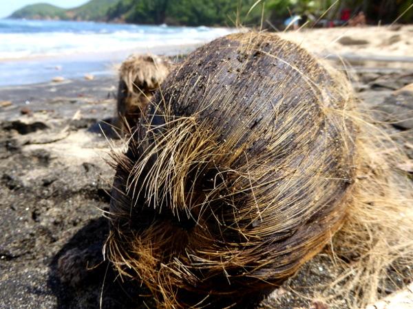 kokosnuss-am-strand-strand-martinique-freibeuter-reisen-presqu-ile