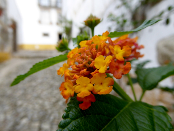 obidos-portugal-freibeuter-reisen-orange-blume