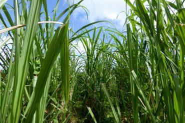 Zuckerrohr - oder ein Blick in die Geschichte Martiniques 9