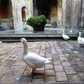 Die Gänse der Kathedrale 5