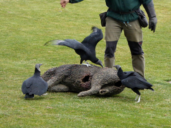 wildschwein atrappe geier cim d aligues freibeuter reisen