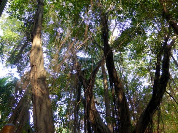 Saigon River banyan tree