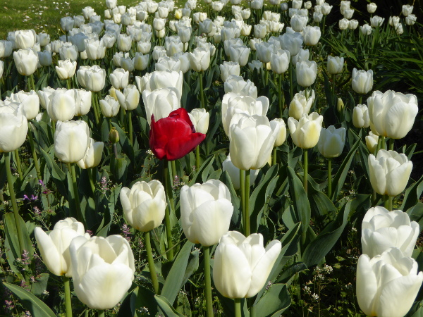 Tulpen in Barcelona freibeuter reisen picknick im Park