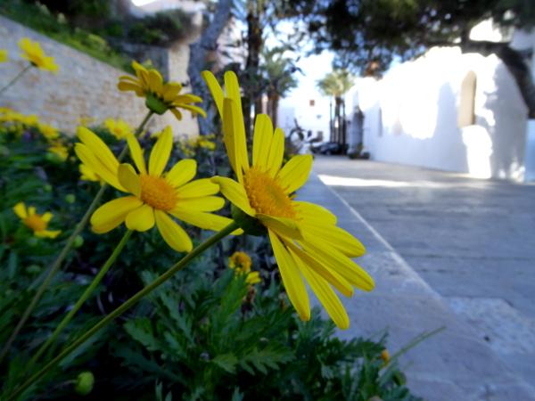 Dalt Vila Eivissa gelbe Blume ibiza freibeuter reise
