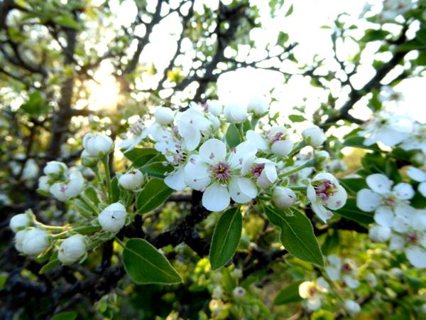 lukovit wilde apfelbluete oder birne freibeuter reisen