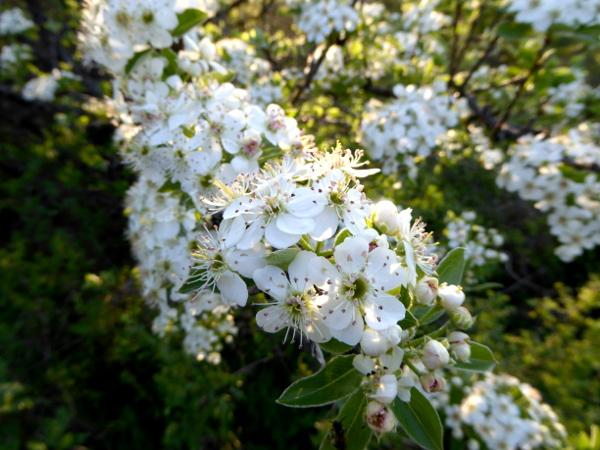 lukovit wilde birnbaumbluete oder apfel freibeuter reisen