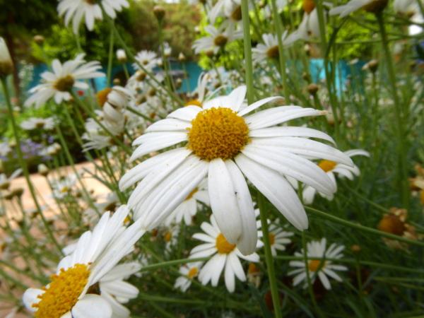 margerite anima garden freibeuter reisen gärten in marrakesch