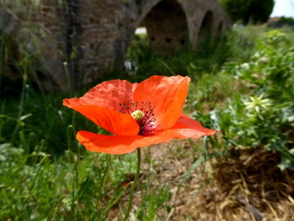 Mohnblume pont del daro Gualta Costa Brava Freibeuter reisen