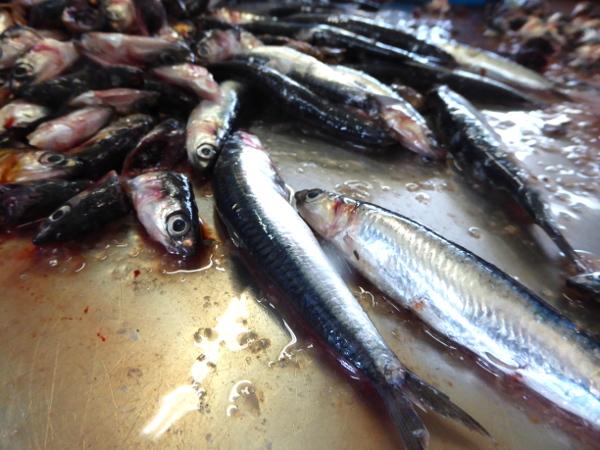 anchovis escala so entstehen anxovis freibeuter reisen