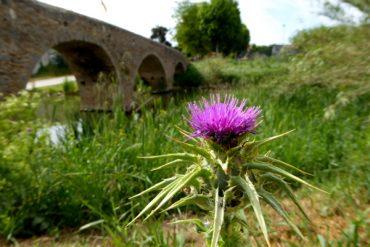 lila blume gualta costa brava freibeuter reisen pont del daro