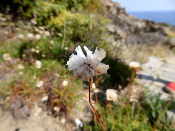 einheimische pflanzen armeria rossellonensis cap de creus naturpark freibeuter reisen