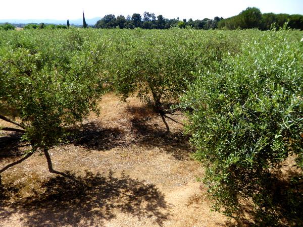 arbequina oliven solivera