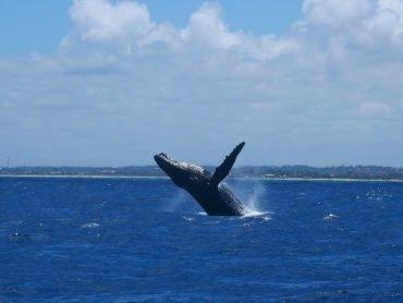 Brasilien buckelwale wale