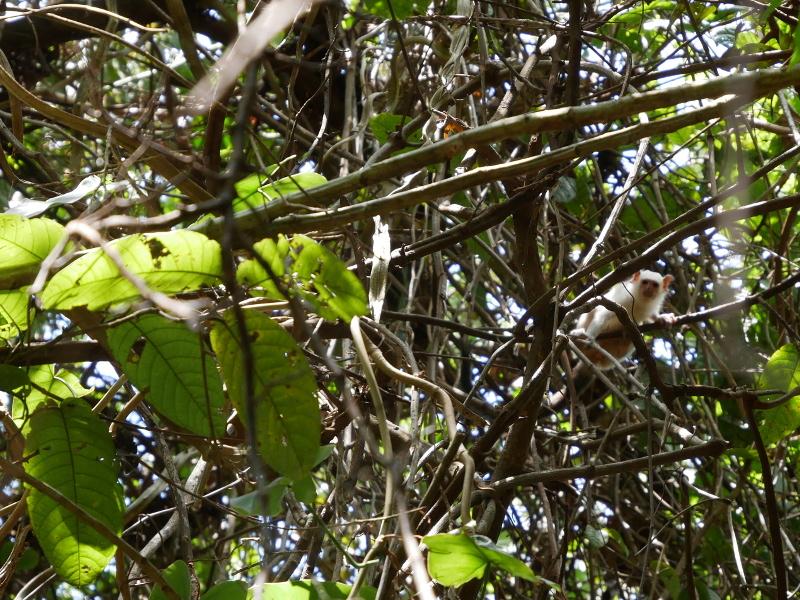 Macaco Sagui Branco Regenwald freibeuter reisen affe-weiss klein