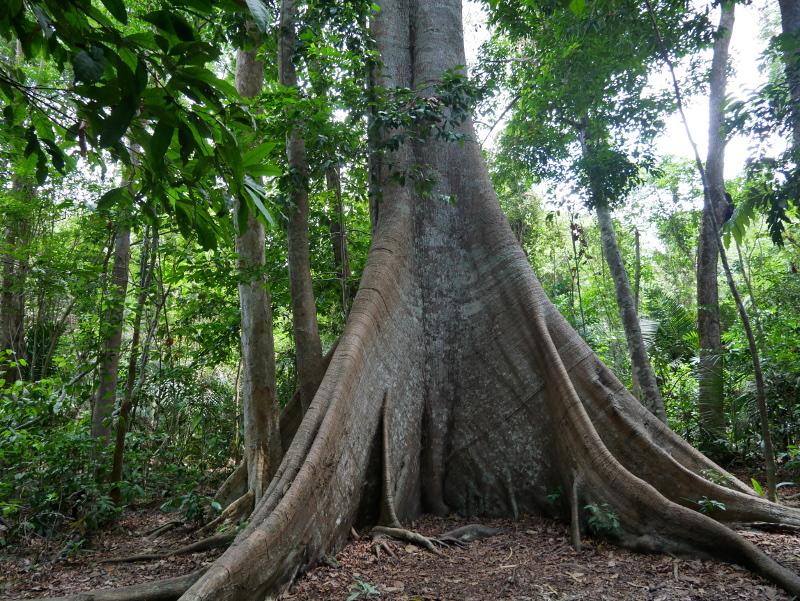 Sumauma-Kapokbaum-brasilien-regenwald