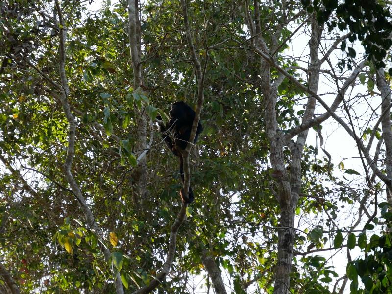 alter do chao regenwald bruellaffe seite freibeuter reisen
