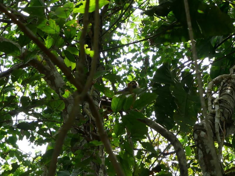 amazonas affe regenwald mico do cheiro macaco